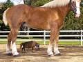 Nii suur hobune ... Appi! Nii väike hobune!